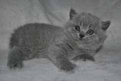 DSC_0016 Британский котик