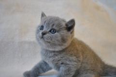DSC_0723 Британский котик
