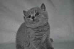 DSC_0743 Британский котик