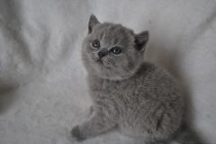 DSC_0968 Британский котик