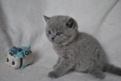 DSC_0970 Британский котик