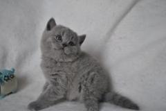 DSC_0975 Британский котик