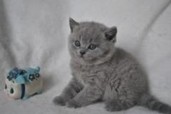 DSC_0977 Британский котик