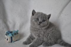 DSC_0978 Британский котик