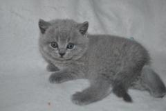 DSC_0994 Британский котик
