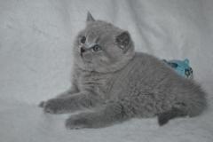 DSC_0996 Британский котик