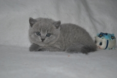 DSC_1000 Британский котик