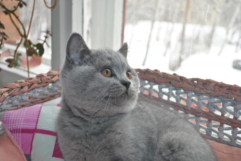 DSC_0015 Британский котик