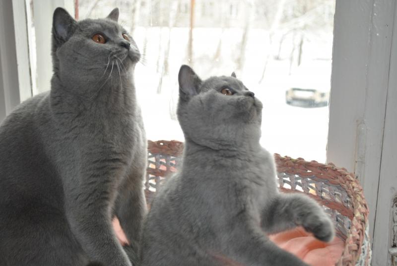 DSC_0026 Британский котик с тетей
