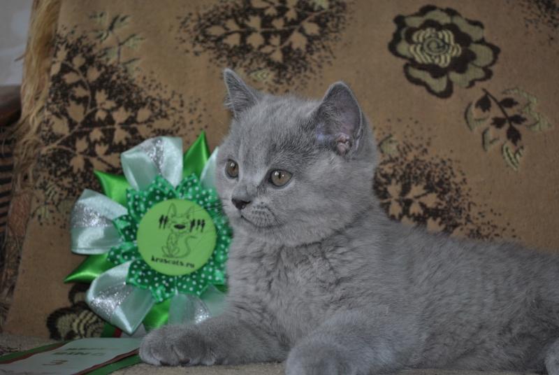 DSC_0528 Британский котик