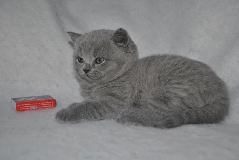 DSC_0884 Британский котик