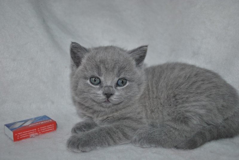 DSC_0886 Британский котик