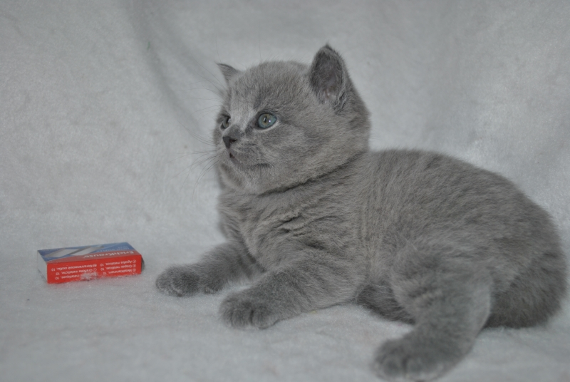 DSC_0888 Британский котик