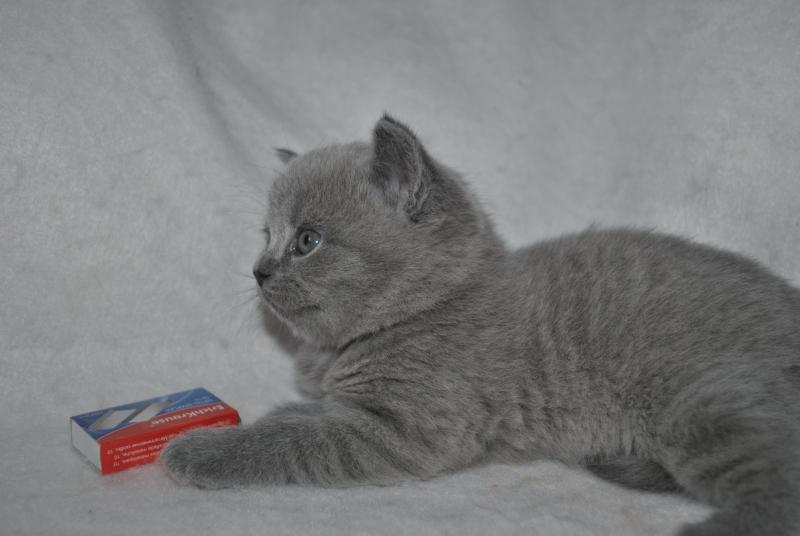 DSC_0892 Британский котик