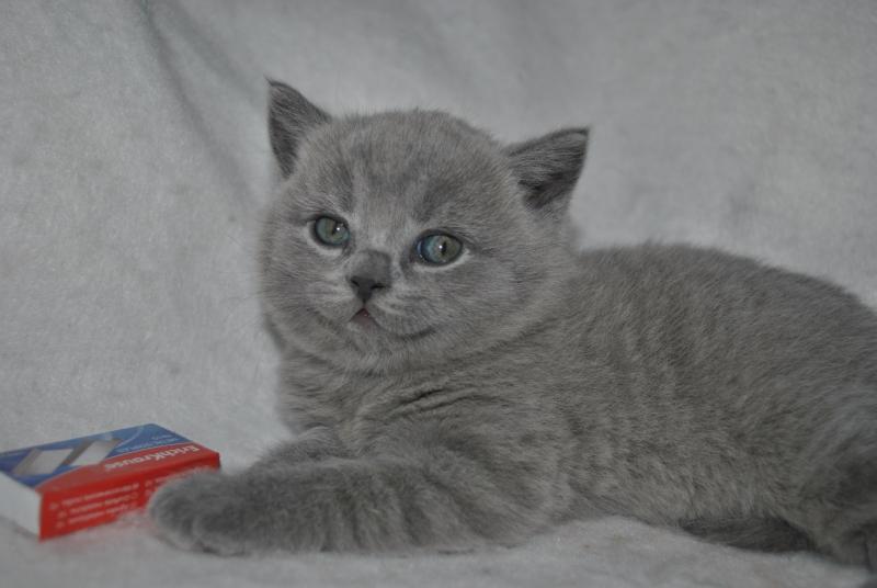 DSC_0895 Британский котик
