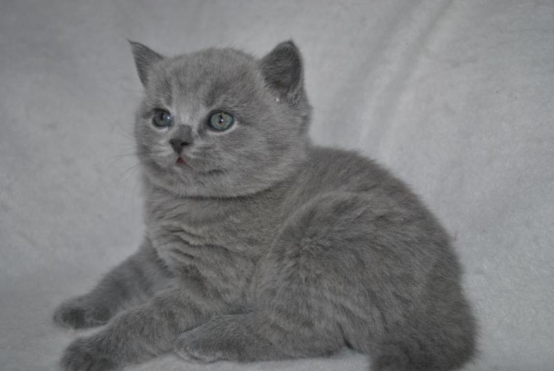DSC_0898 Британский котик