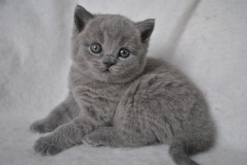 DSC_0899 Британский котик