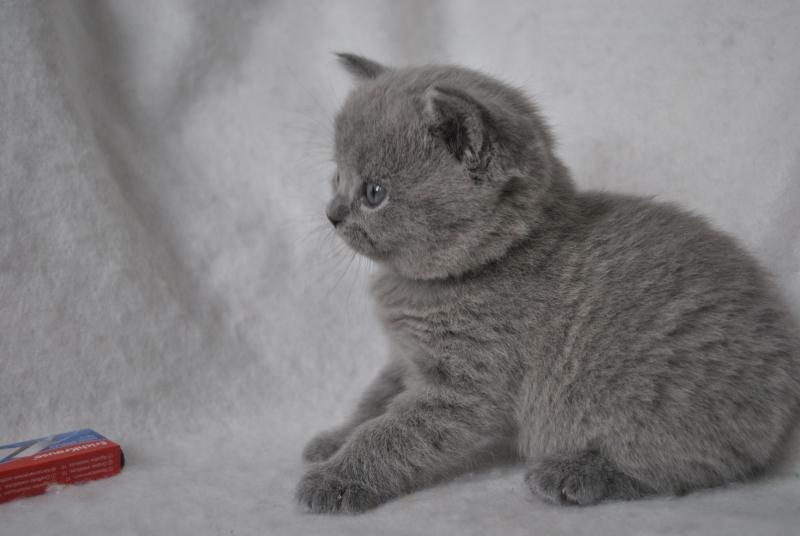 DSC_0901 Британский котик