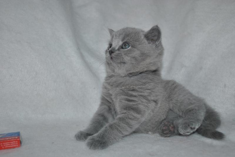 DSC_0902 Британский котик