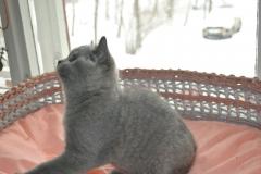 DSC_0019 Британский котик