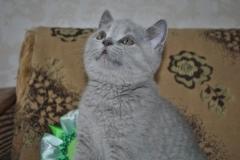 DSC_0529 Британский котик