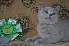 DSC_0539 Британский котик