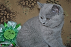 DSC_0557 Британский котик