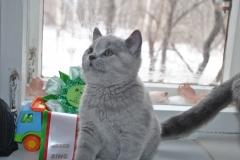 DSC_0597 Британский котик