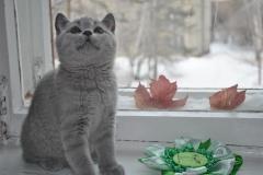 DSC_0614 Британский котик
