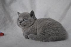 DSC_0882 Британский котик