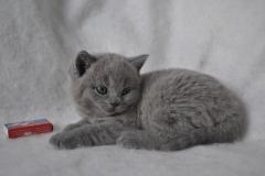 DSC_0885 Британский котик
