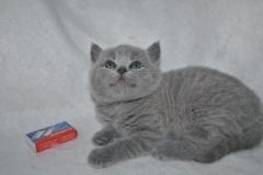 DSC_0887 Британский котик