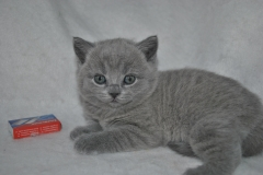DSC_0889 Британский котик