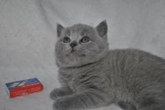 DSC_0890 Британский котик
