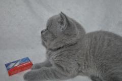 DSC_0891 Британский котик