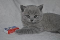 DSC_0894 Британский котик