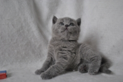 DSC_0903 Британский котик