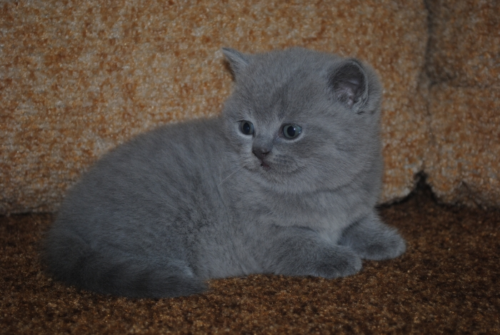 DSC_0866 британский котик1