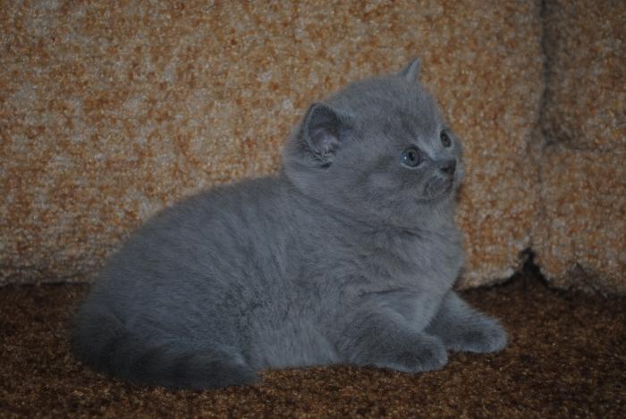 DSC_0870 британский котик2