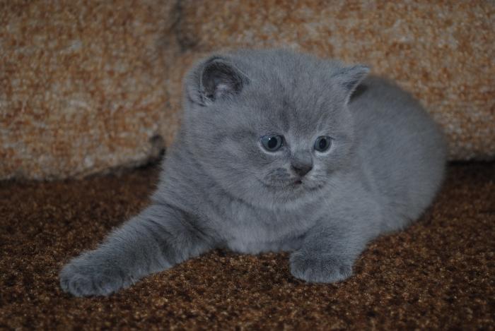 DSC_0887 британский котик4