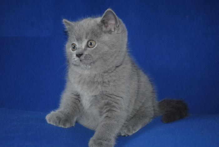 DSC_0940 британский котик