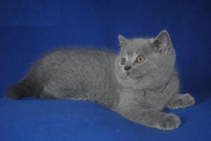DSC_0955 британский котик