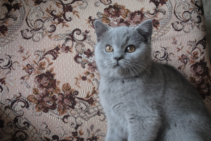 DSC_1409 британский котик