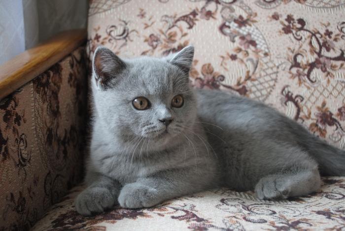 DSC_1412 британский котик