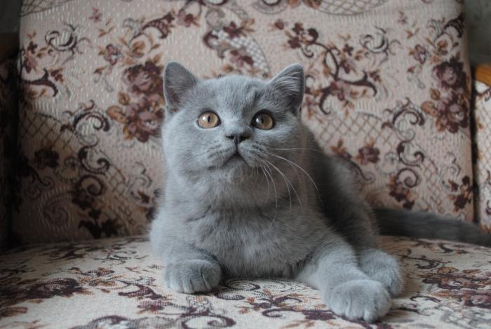 DSC_1416 британский котик