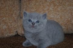 DSC_0885_ британский котик3