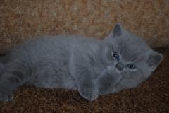 DSC_0888 британский котик5
