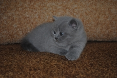 DSC_0893 британский котик6