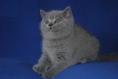 DSC_0946 британский котик