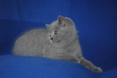 DSC_0954 британский котик